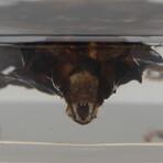 Genuine Large Bat in Lucite