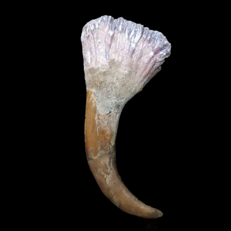 North African Spinosaur Fossilized Claw // Early Cretaceous Ca. 112 to 97 Million Years Old