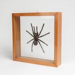 Genuine Pamphobeteus Antinous, The Bird Spider, in a Display Frame