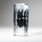 Genuine Large Stag Beetle in Lucite