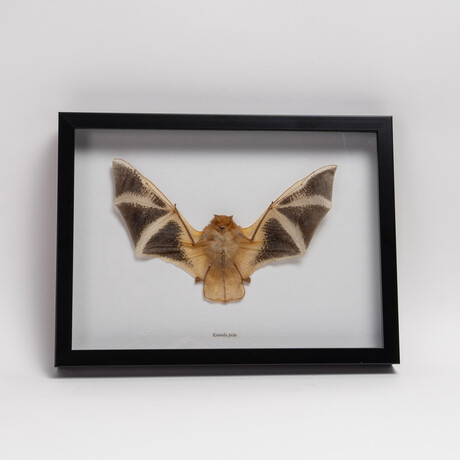 Genuine Kerivoula Picta, The Painted Bat, in a Display Frame