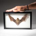 Genuine Pipistrellus Javanicus Bat