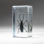 Genuine Single Long Horned Beetle in Lucite