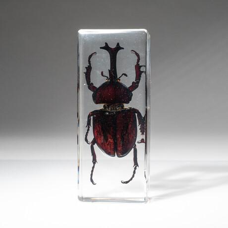 Genuine Single Rhinoceras Beetle in Lucite