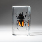Genuine Single Stag Beetle in Lucite