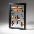 11 Genuine Insects in Display Frame // V1