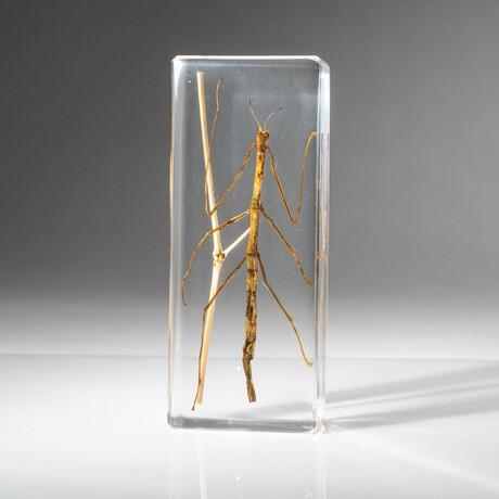 Genuine Single Stick Bug in Lucite