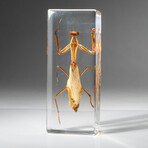 Genuine Single Praying Mantis in Lucite