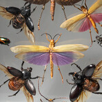 11 Genuine Insects in Display Frame // V2
