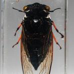 Genuine Single Cicada in Lucite