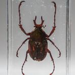 Genuine Single Antler Horned Beetle in Lucite