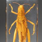 Genuine Single Grasshopper in Lucite