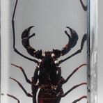 Genuine Single Whip Scorpion in Lucite