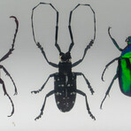 4 Genuine Beetles in Lucite // Antler+  Long-Horned + Green Chafer + Stag