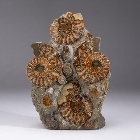 Genuine Ammonite Cluster