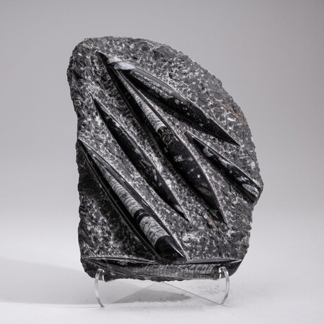 Genuine Orthoceras Fossil Plate + Acrylic Display Stand