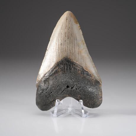 Genuine Megalodon Shark Tooth + Display Box // V2