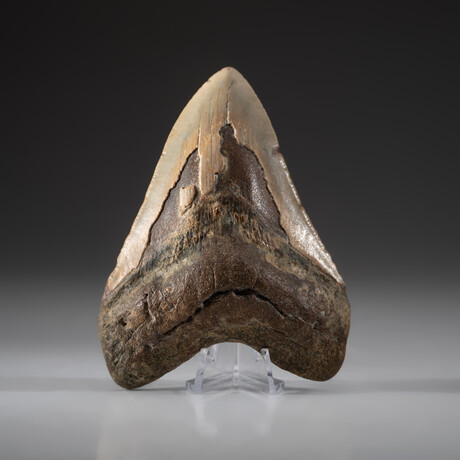 Genuine Megalodon Shark Tooth + Display Box // V7