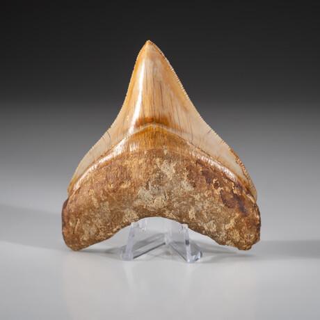 Genuine Megalodon Shark Tooth + Display Box // V5