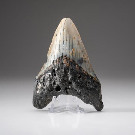 Genuine Megalodon Shark Tooth + Display Box // V3