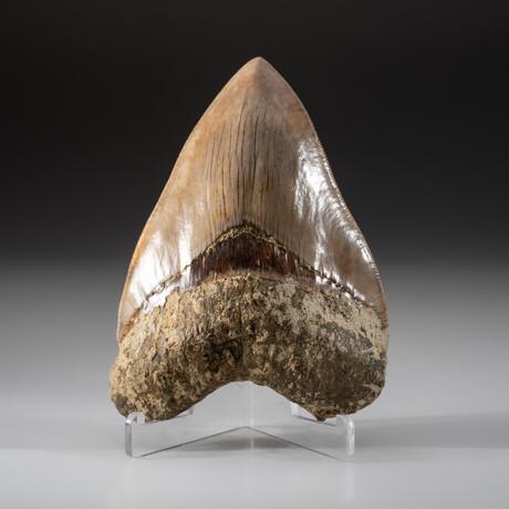 Genuine Megalodon Shark Tooth + Display Box // V11