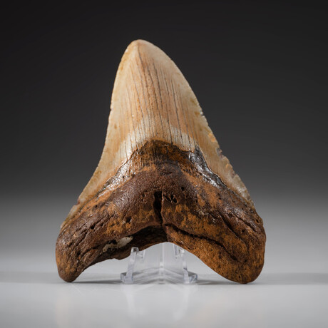 Genuine Megalodon Shark Tooth + Display Box // V8