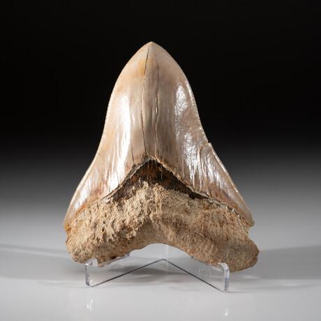 Genuine Megalodon Shark Tooth + Display Box // V10