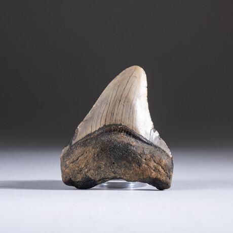 "Genuine 3-4"" Megalodon Shark Tooth + Display Box // V11"