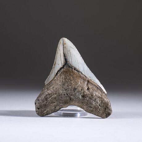 "Genuine 3-4"" Megalodon Shark Tooth + Display Box // V9"