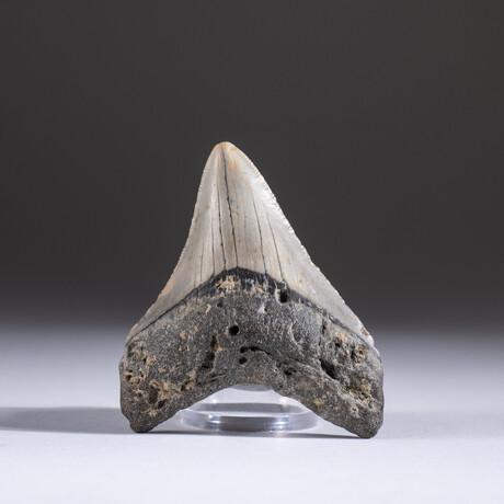 "Genuine 3-4"" Megalodon Shark Tooth + Display Box // V10"