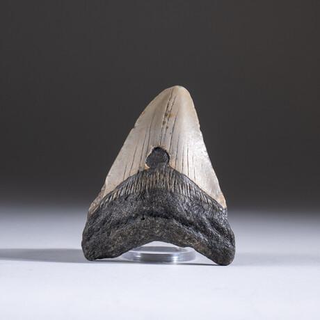 "Genuine 3-4"" Megalodon Shark Tooth + Display Box // V7"