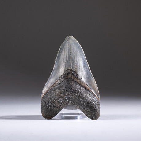"Genuine 3-4"" Megalodon Shark Tooth + Display Box // V17"