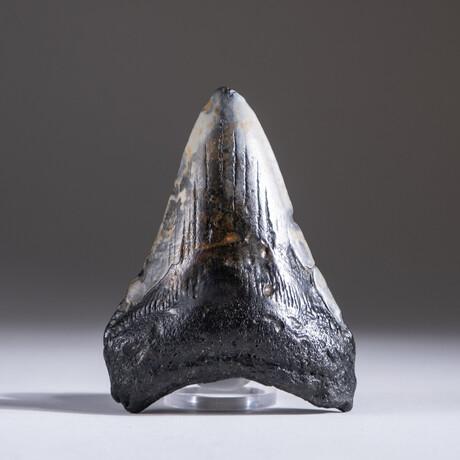 "Genuine 3-4"" Megalodon Shark Tooth + Display Box // V18"