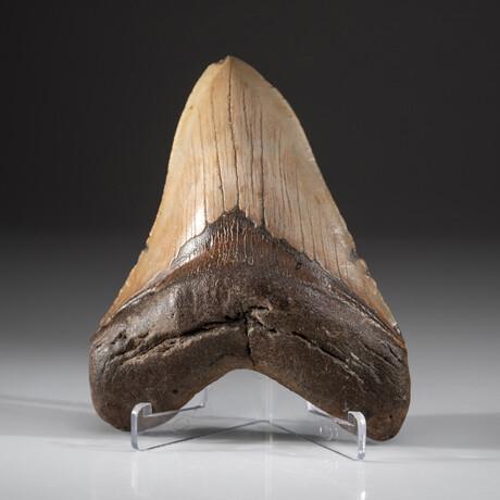 Genuine Megalodon Shark Tooth + Display Box // V9