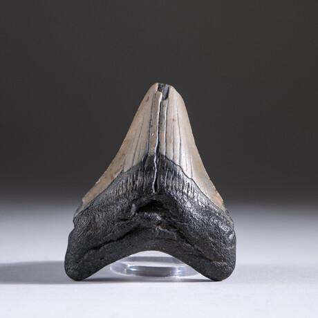 "Genuine 3-4"" Megalodon Shark Tooth + Display Box // V2"