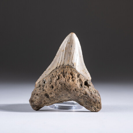 "Genuine 3-4"" Megalodon Shark Tooth + Display Box // V3"