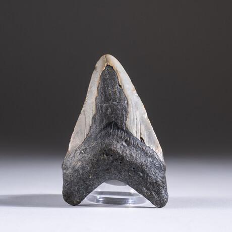 "Genuine 3-4"" Megalodon Shark Tooth + Display Box // V4"