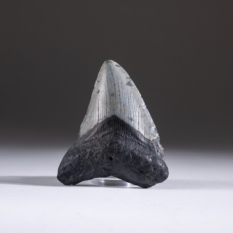 "Genuine 3-4"" Megalodon Shark Tooth + Display Box // V8"