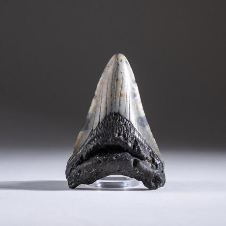 "Genuine 3-4"" Megalodon Shark Tooth + Display Box // V12"