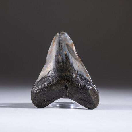 "Genuine 3-4"" Megalodon Shark Tooth + Display Box // V5"