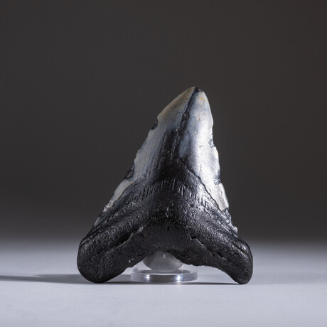 "Genuine 3-4"" Megalodon Shark Tooth + Display Box // V19"