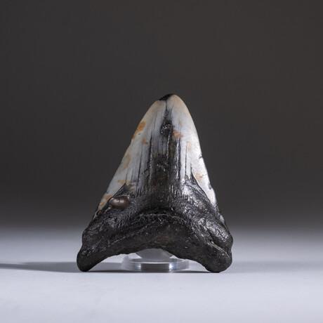 "Genuine 3-4"" Megalodon Shark Tooth + Display Box // V20"