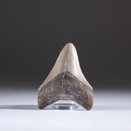 "Genuine 3-4"" Megalodon Shark Tooth + Display Box // V6"