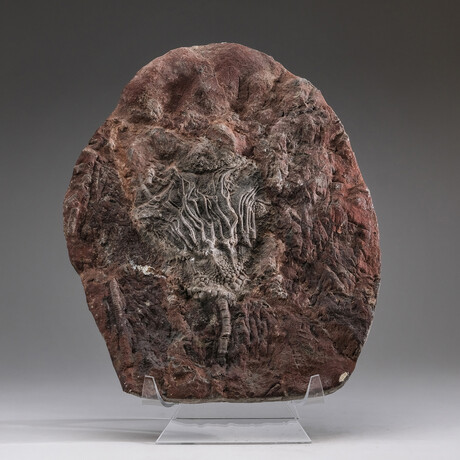 Genuine Natural Critnoid Fossil Plate