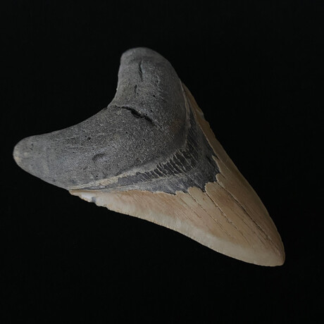 """4.71"""" Serrated Lower Megalodon Tooth"""