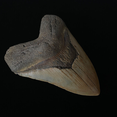 """5.10"""" High Quality Megalodon Tooth"""
