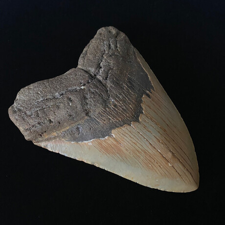 """5.13"""" Serrated Megalodon Tooth"""