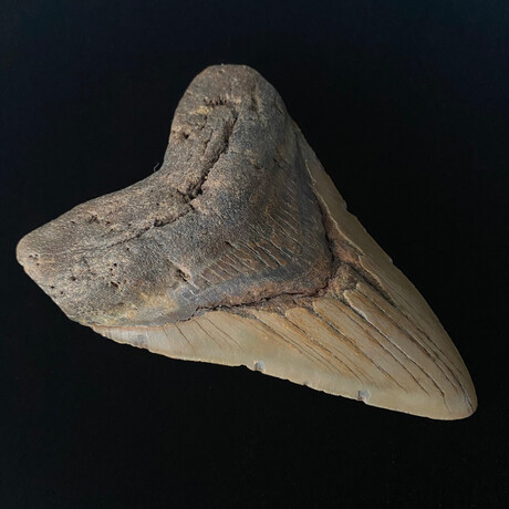 """5.81"""" Massive Megalodon Tooth"""