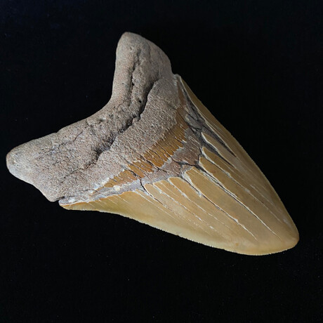 """5.41"""" High Quality Serrated Megalodon Tooth"""