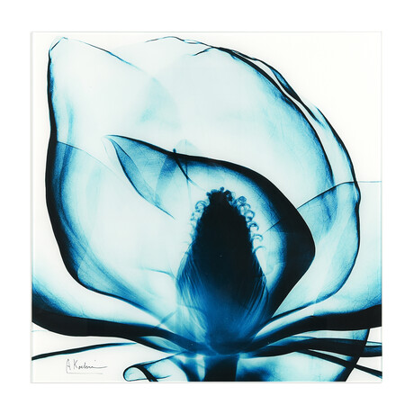 Blue Magnolia X-Ray
